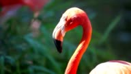 Cuban Flamingo video