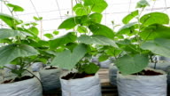 Cucumber plant cultivation on coco peat at greenhouse. video