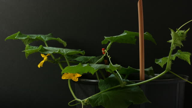Cucumber Plant Time Lapse video