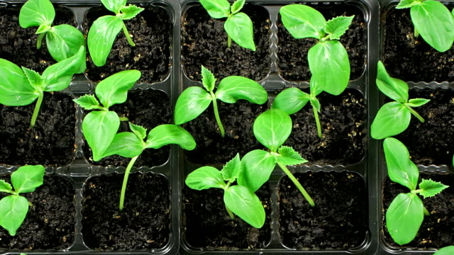 Cucumber seedlings sprout. Top view video