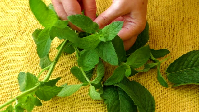 Culinary aromatic herbs. Closeup fresh peppermint leaves video