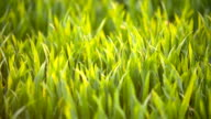 Cultivated field of young green wheat in the morning. video