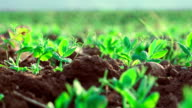 cultivated field with small plants growing video