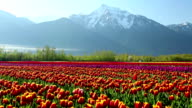 Cultivated Tulip Field Fraser Valley British Columbia video