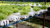 cultivation hydroponics green vegetable in farm video