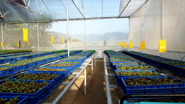 Cultivation tomato seedlings video