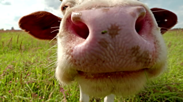 Curious cow closeup on the meadow video