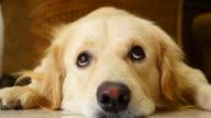 Curious Face Golden Retriever Dog video