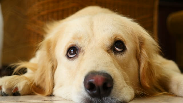 Curious Face Golden Retriever Dog video