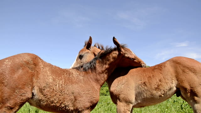 curious foals on pasture playing together video