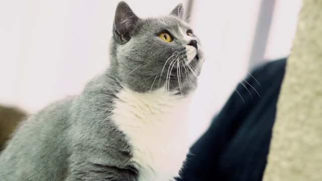 Curious grey cat playing with toy video