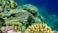 A curious Klunzingers Wrasse fish floats on the background of magnificent corals in the Red Sea video