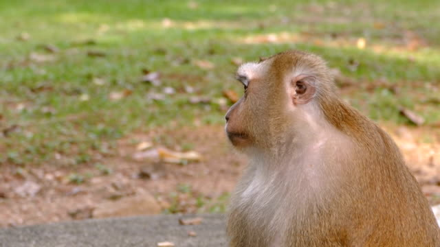 curious monkey sitting in the park. video