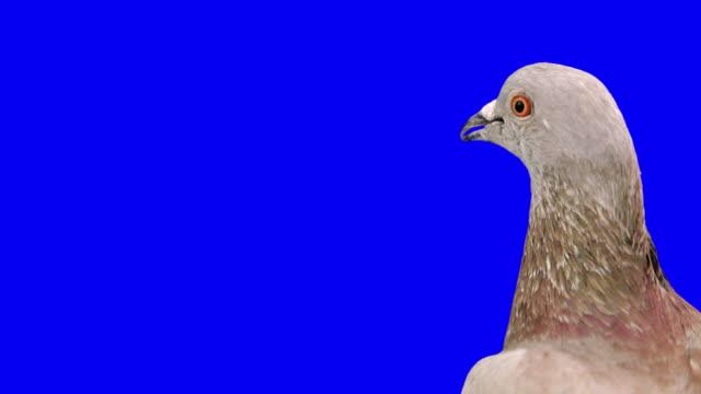 Curious pigeon looks around close up video