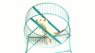 Curious Rat on Exercise Wheel (HD) video