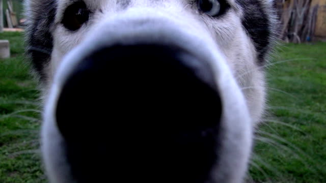Curious Siberian Husky video