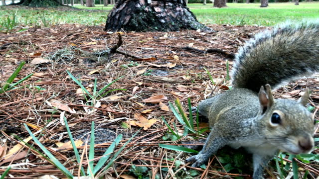 Curious Squirrel 4/4 video