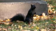 Curious squirrel. video
