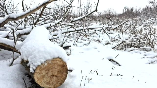 cut down tree branch in snowing winter forest swamp dry grass nature video