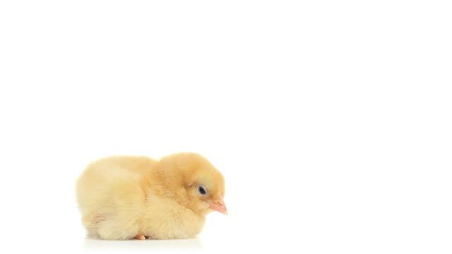 HD cute baby chicken falling asleep video
