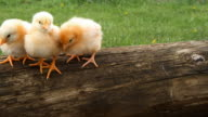 Cute baby chicks in nature. video