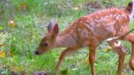 4K Cute Baby Deer Fawn in Green Grass Meadow in Spring video