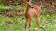 Cute Baby Deer Fawn in Green Grass Meadow in Spring video