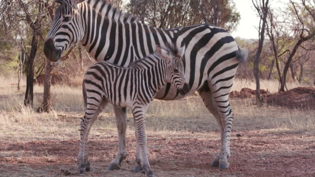 Cute baby zebra foal standing next to its mother video