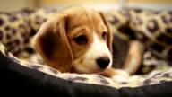 Cute Beagle Puppy in sofa Bed video