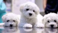 Cute bichon puppies in vet's office video