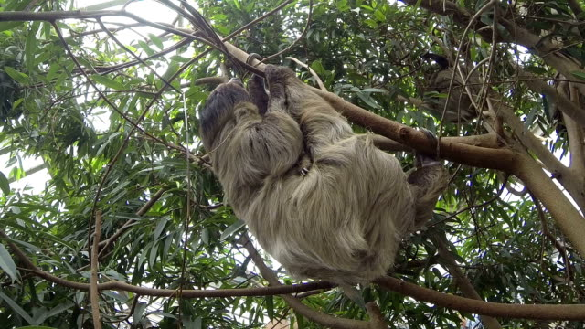 Cute brown-throated sloth crawling on a tree video