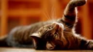 cute cat having fun playing on floor video