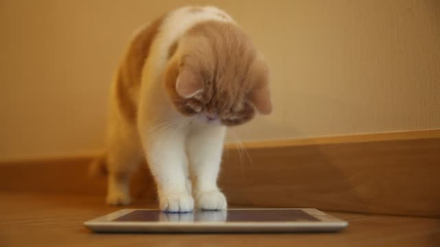 Cute cat play digital tablet video