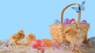 Cute chicks around an Easter basket. video