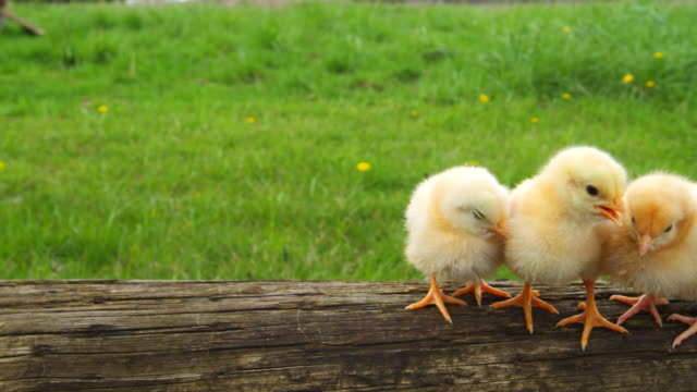 Cute chicks huddle together. video