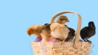 Cute chicks in Easter basket. video