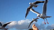 CLOSE UP: Cute, curious seagull succeeding at catching the food while flying video