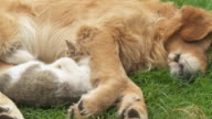 HD DOLLY: Cute Dog and Kitten Resting Together video