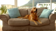 Cute dog barking on couch video