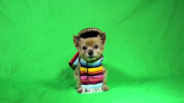 Cute dog dressed up in a Spanish costume video