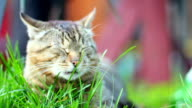 Cute domestic cat lying in grass, taking rest eyes closed video