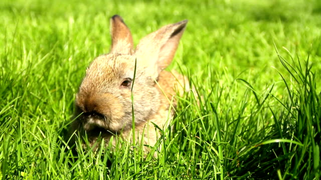 Cute Easter Bunny Rabbit Eating Grass HD video