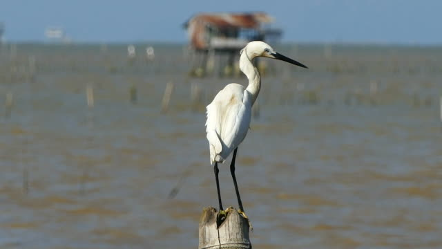 Cute Egret in the sea video