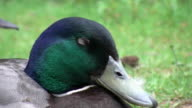 Cute English Duck going to sleep video