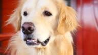 Cute Face Golden Retriever Dog video