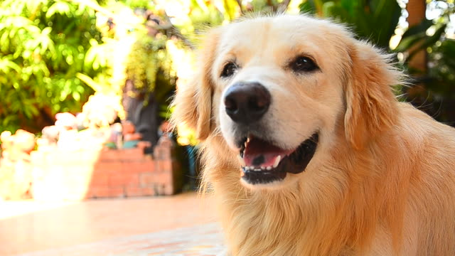 Cute Face Golden Retriever Dog video