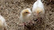 Cute Fluffy Baby Chicks video