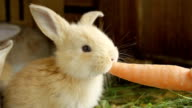 CLOSE UP: Cute fluffy light brown baby bunny eating big fresh carrot video