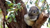 CLOSE UP: Cute fluffy sleepy koala stretching herself on eucalyptus branch video