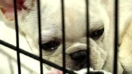 Cute french bulldog pups inside a cage video